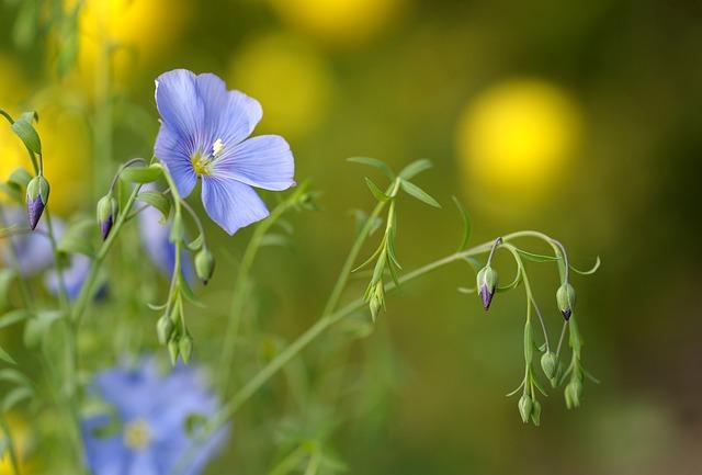 blue-flax